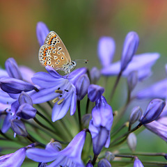 Brown Argus feeding on Agapanthus nectar