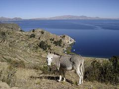 Il fait partie du paysage bolivien...