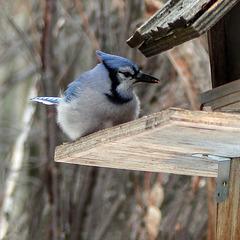 Blue Jay / Cyanocitta cristata