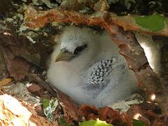 Baby Red-billed Tropicbird, Little Tobago