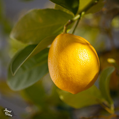 Pictures for Pam, Day 69: Lovely Light on Lemon
