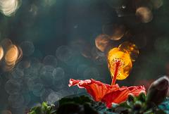 Hibiskus in Flammen