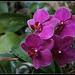 Phalaenopsis hybride (3)