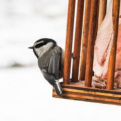 Mountain Chickadee feeding on suet