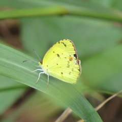 Little yellow butterfly (that's really its name)