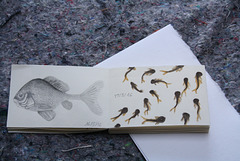 Daily Fish Drawing - A Swarm