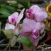 phalaenopsis hybride pélorique