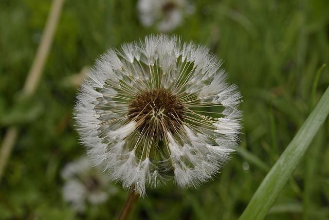 BESANCON: Une fleur de Pissenlit (ou Dent-de-lion) (Pappus). 02
