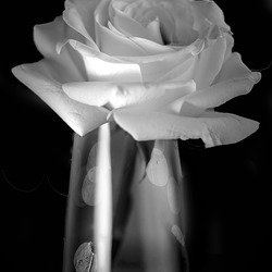 The Rose in Black and White