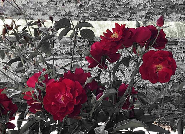 Lichen & Roses