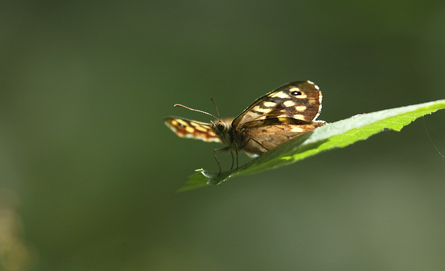 Speckled Wood (Pararge aegeria) butterfly