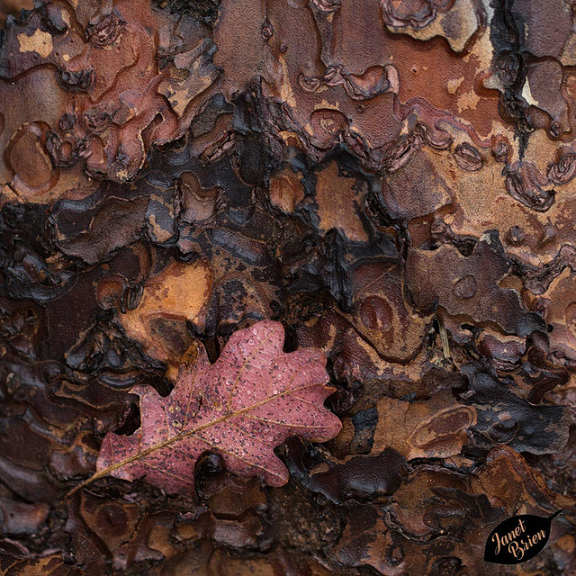 Pictures for Pam, Day 48: Oak Leaf Stuck on Ponderosa Pine Bark