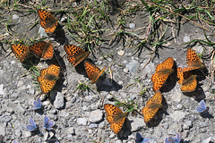 Nacrés et azurés, Lépidoptères, Lac des Dix, Valais (Suisse)