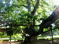 London plane tree (better in fullscrenn)