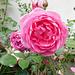 Roses**********pour vous********