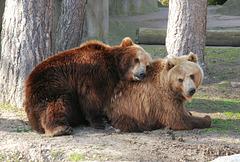 """Braunbären (3):  """"Mit dir kuschel ich am liebsten"""""""