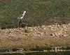 échasse blanche - gravière de Joux (Rhône)