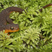 Rough-skinned Newt at Tugman State Park (+6 insets!)