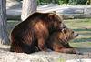 """Braunbären (2):  """"Ich muss Dir was ins Ohr flüstern"""""""