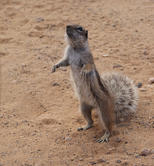 Atlashörnchen bettelt