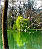 Il salice verde si specchia ! - (637)