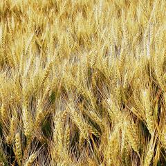 Blond comme les blés