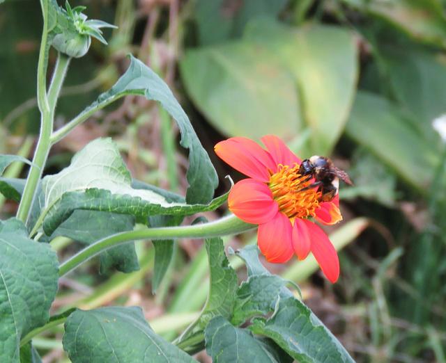 The Pollinator ..