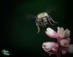 15/366: Bumble Bee in Flight