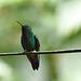 Humming bird EF7A5753