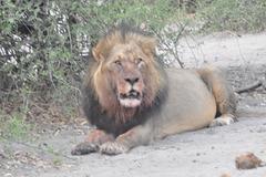 Maljuna leono. Ĉobe Nacia Parko