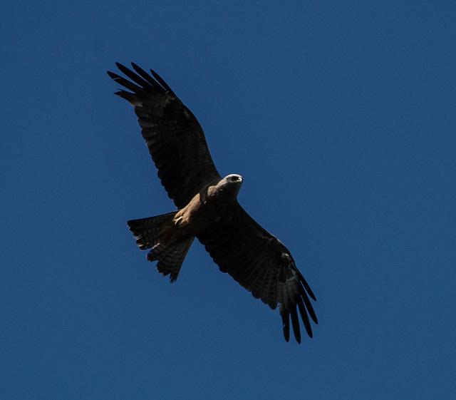 milan noir (milvus migrans) - gravière de Joux (Rhône)