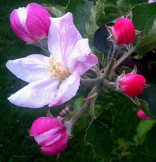 Blooming of apple