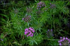 Crucianella stylosa -Phuopsis stylosa