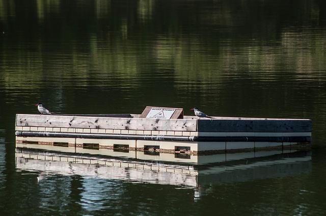 sternes pierregarin - gravière de Joux (Rhône)