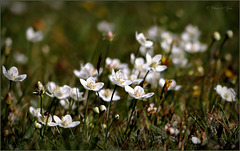 It's time for the most beautiful wild Flower I know: Parnassia palustris...