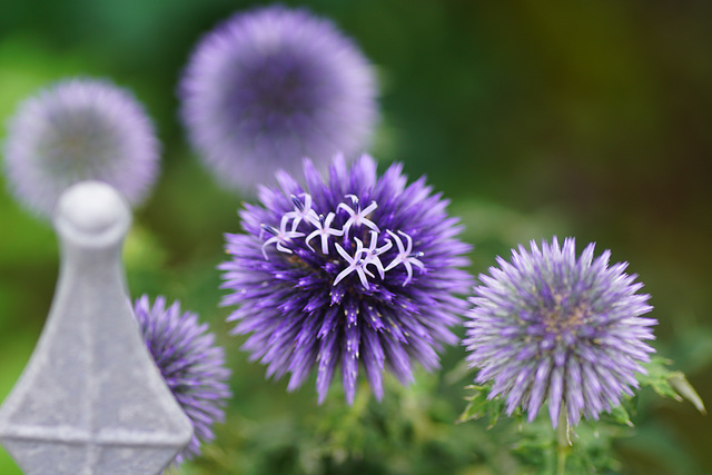 Kleine Blüten der Kugeldistel