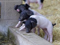Süße Schweinerei III (Wilhelma)