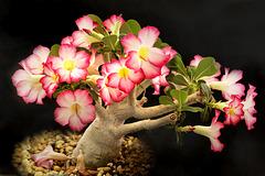 Adenium obesum, Rosa do deserto