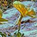 Onagraceae 358