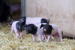 Süße Schweinerei V (Wilhelma)