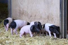 Süße Schweinerei VI (Wilhelma)