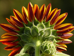 Back view of an orange Sunflower