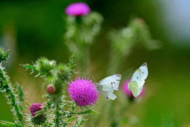 Doublé de piérides du navet sur une fleur de chardon.