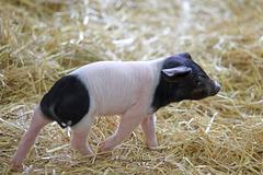 Süße Schweinerei VII (Wilhelma)
