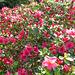quelques fleurs du jardin............
