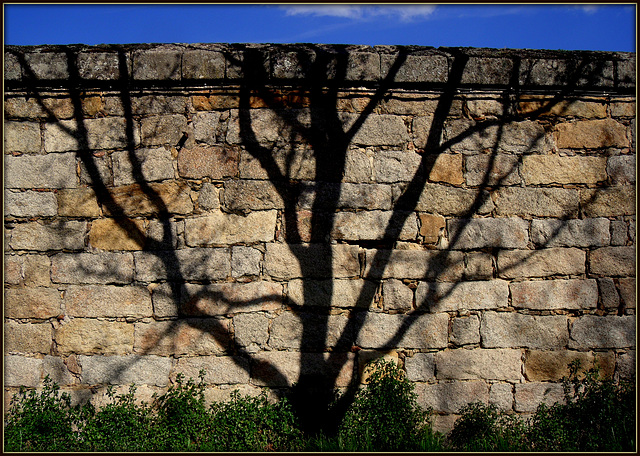 Shadow tree espalier