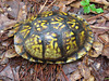 Box turtle - Terrapene carolina