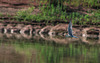 sterne pierregarin - gravière de Joux (Rhône)