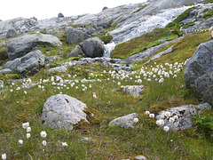 Mountainous Dandelions