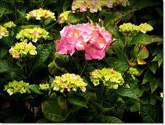la saison des hortensias